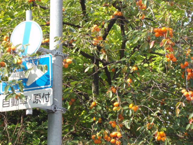 6番町の柿