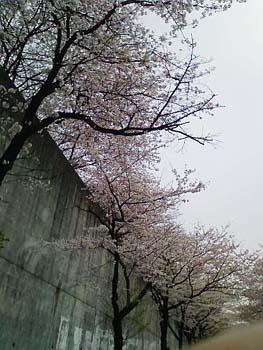 お墓参りで桜