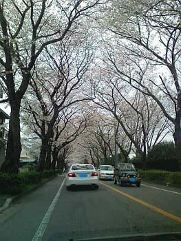 お墓参りで桜2