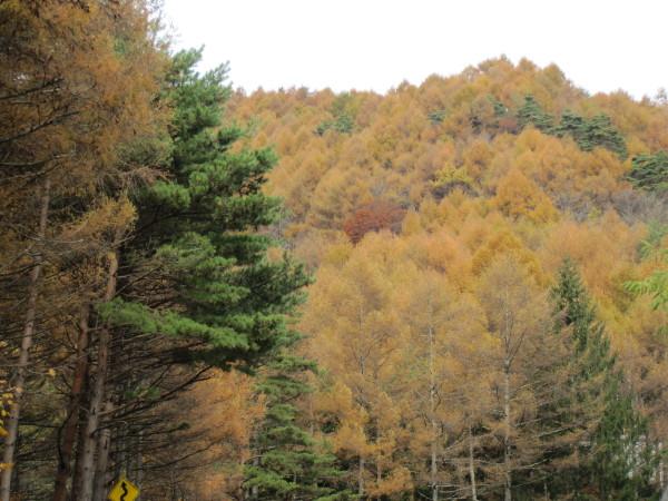 杉と落葉松