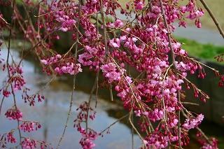 粟島公園のしだれ桜