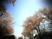 0407トイカメラ桜