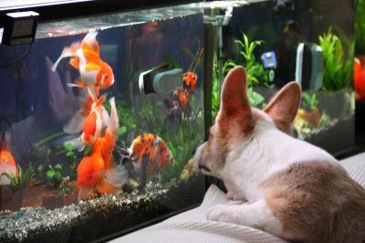 ぐりと金魚