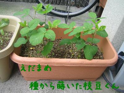 種枝豆524