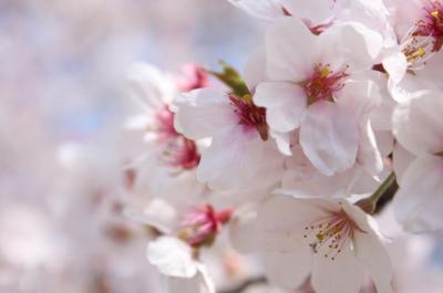 2009年 桜④