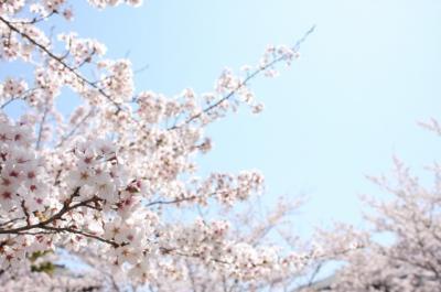 2009年 桜③