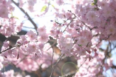 2009年 桜②