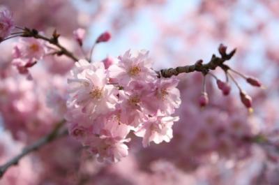 2009年 桜①