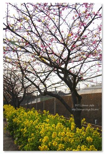 三浦桜祭り