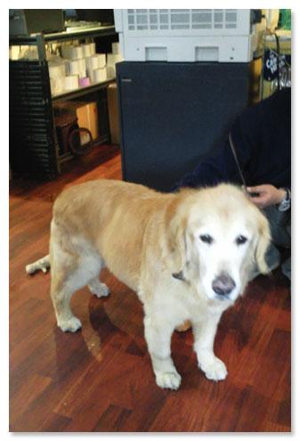 横須賀ゴールデン迷い犬
