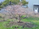 釧路の桜1