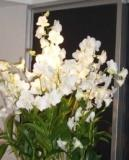 White orchid DEC08
