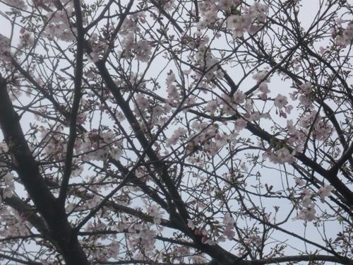 5sakura1.jpg
