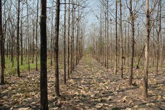 チークの林