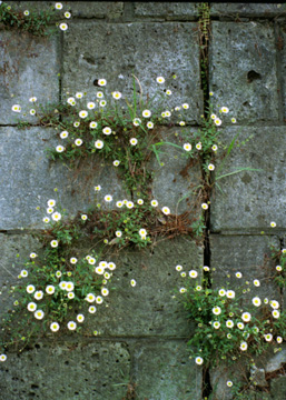 石垣にも春