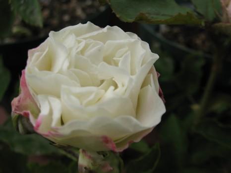 ホワイトマカロン2