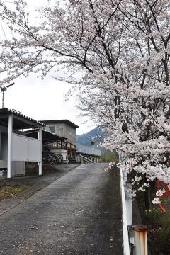 潮駅の桜(2)