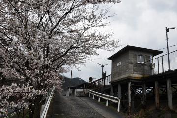 潮駅の桜(3)