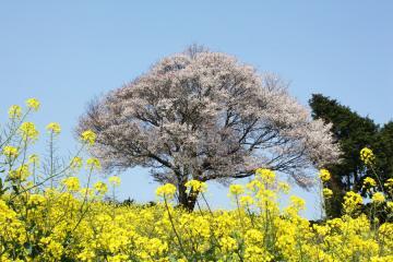 馬場の山桜(1)
