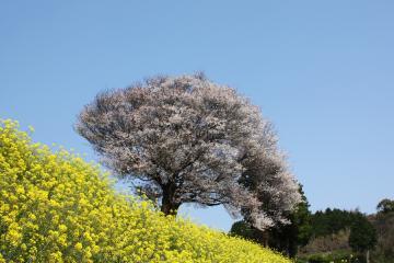 馬場の山桜(2)