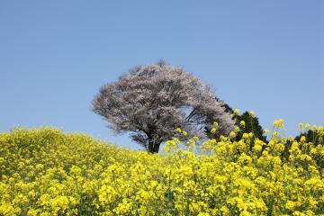 馬場の山桜(3)