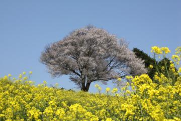 馬場の山桜(4)