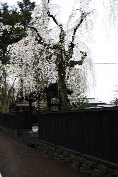 角館の桜(1)