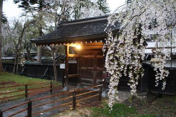 角館の桜(3)