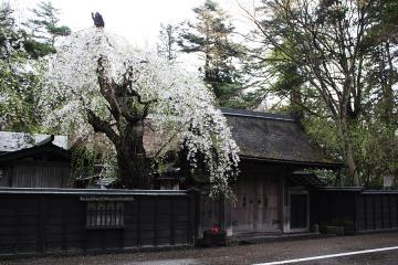 角館の桜(4)