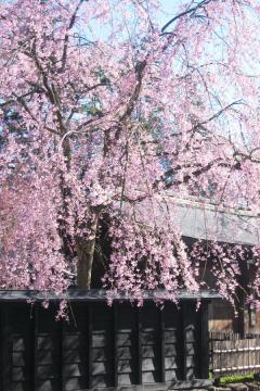 角館の桜(5)