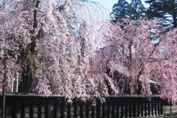 角館の桜(6)