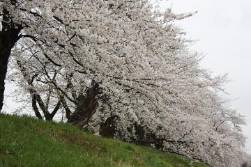 角館の桜(7)