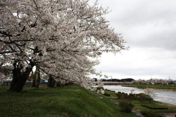 角館の桜(8)
