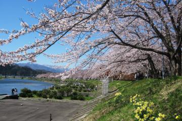 角館の桜(9)