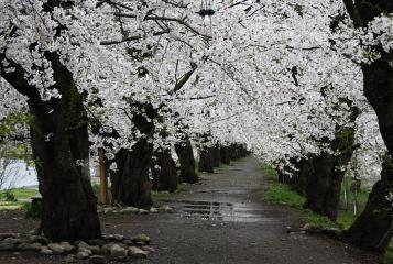角館の桜(10)