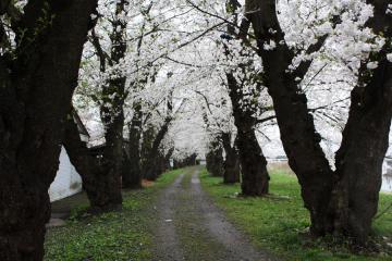角館の桜(11)