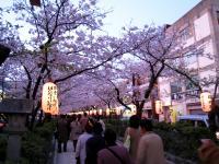 kamakurasakura.jpg