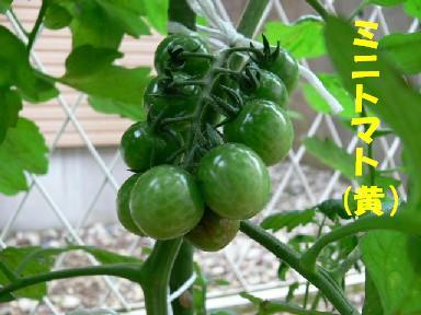 ミニトマト(黄)