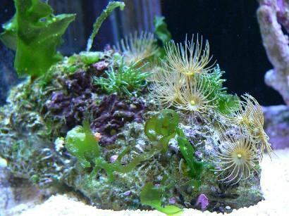 海藻コロニー