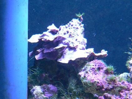 育った石灰藻