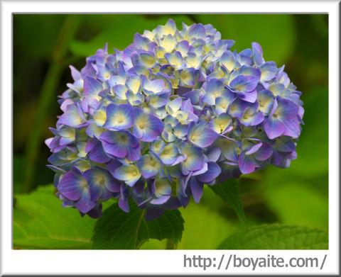 紫陽花05.jpg