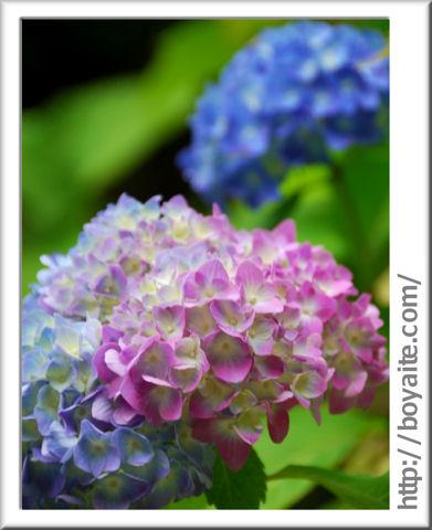 紫陽花06.jpg