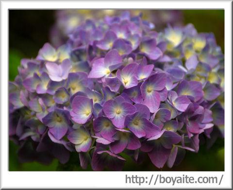 紫陽花07.jpg