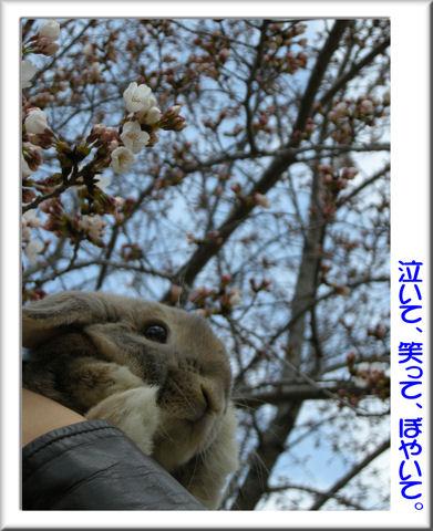 ジャンくんと桜.jpg