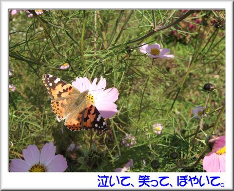 コスモスと蝶々.jpg