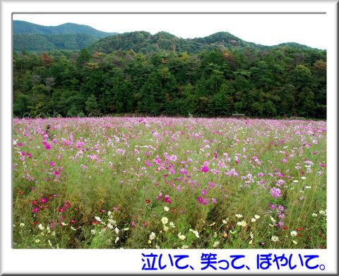 コスモス園.jpg