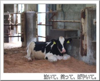 牛舎のウシ.jpg