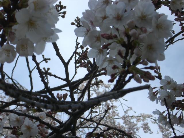 桜、その3.