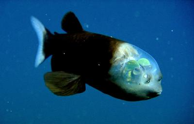 090223-01-fish-transparent-head-barreleye-pictures_big.jpg