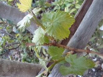 葡萄の葉開く